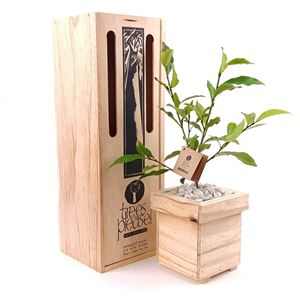 Picture of Living Magnolia Tree Gift