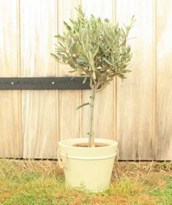 Picture of Olive Tree Gift