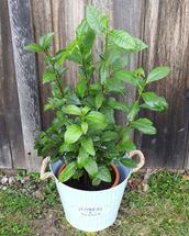 Picture of Camellia Potted Plant Gift