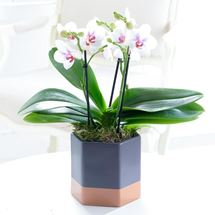 Picture of Gorgeous Orchid Plant