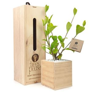Picture of Gardenia Tree Gift