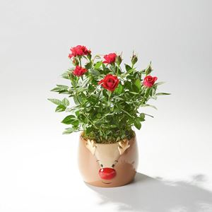 Picture of Rose Plant in a Rudolph Planter